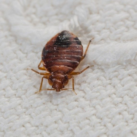 Bed Bugs, Pest Control in Ladbroke Grove, North Kensington, W10. Call Now! 020 8166 9746