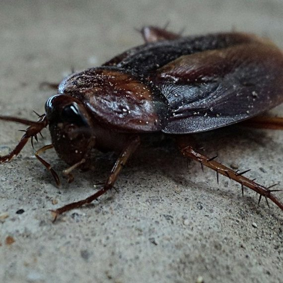 Cockroaches, Pest Control in Ladbroke Grove, North Kensington, W10. Call Now! 020 8166 9746