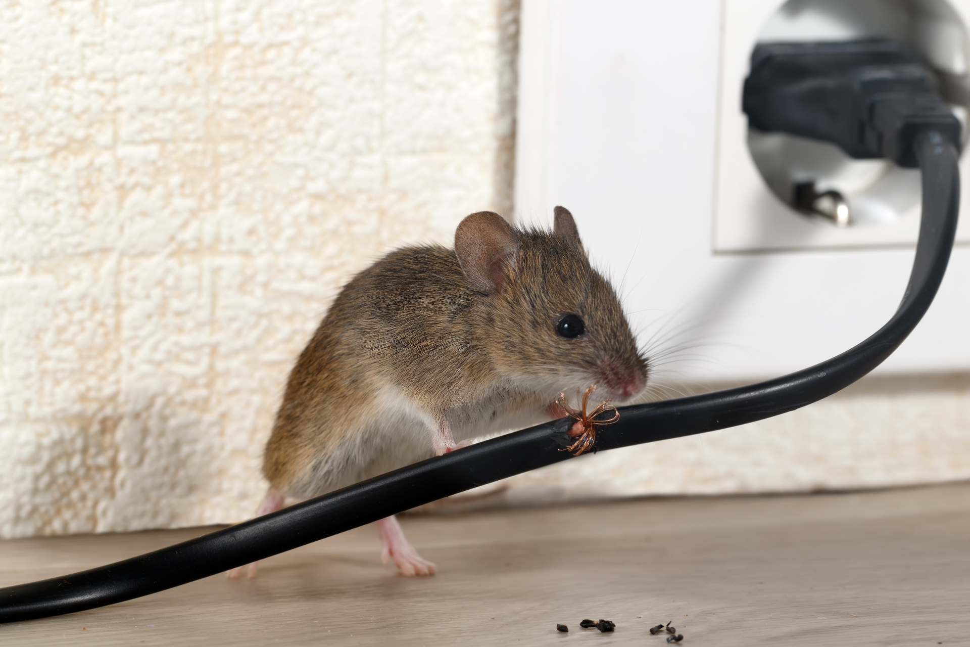 Mice Infestation, Pest Control in Ladbroke Grove, North Kensington, W10. Call Now 020 8166 9746