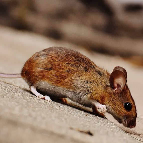 Mice, Pest Control in Ladbroke Grove, North Kensington, W10. Call Now! 020 8166 9746