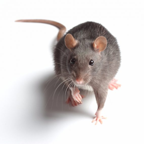 Rats, Pest Control in Ladbroke Grove, North Kensington, W10. Call Now! 020 8166 9746