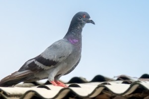 Pigeon Pest, Pest Control in Ladbroke Grove, North Kensington, W10. Call Now 020 8166 9746
